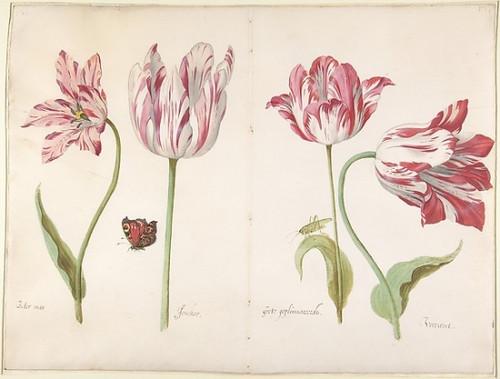 Four Tulips: Boter man (8 x 10), Joncker (8 x 10), Grote geplumaceerde (8 x 10), and Voorwint (8 x 10) Poster Print by Jacob Marrel (8 x 10) (8 x 10) - Item # MINMET337769