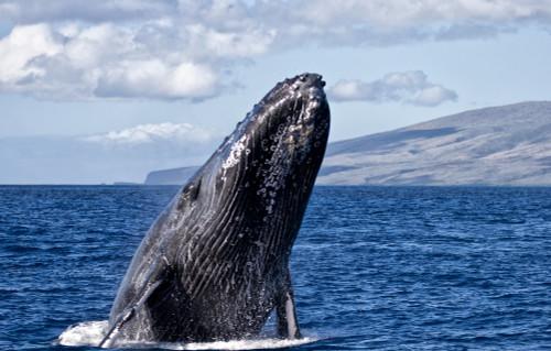 Humpback whale (Megaptera novaeangliae) breaching in the pacific ocean off a hawaiian island; Hawaii, United States of America PosterPrint - Item # VARDPI12305831