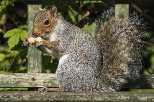 Squirrel holding a shelled peanut; Gateshead, Tyne and Wear, England PosterPrint - Item # VARDPI12300941