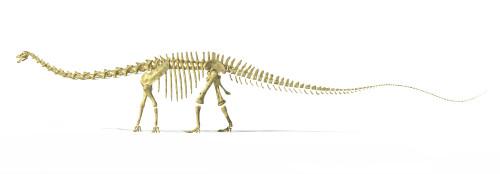 3D rendering of a Diplodocus dinosaur skeleton, side view. Diplodocus was a giant herbivorous dinosaur of the late Jurassic period Poster Print - Item # VARPSTVET600020P