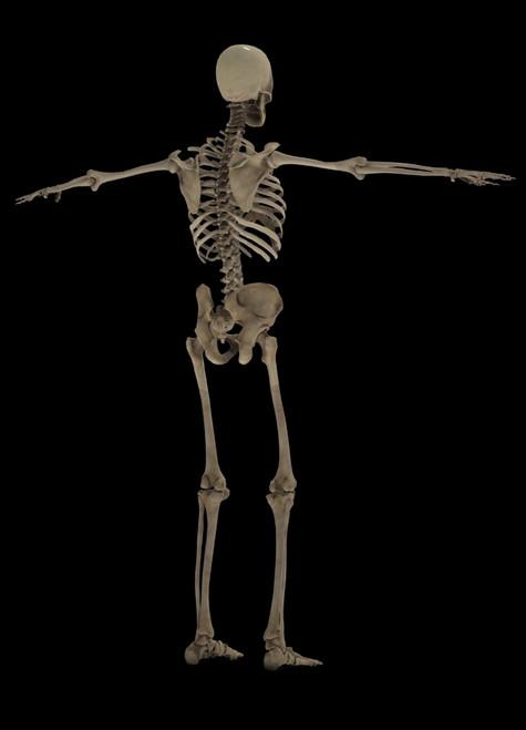 3D rendering of human skeletal system, rear view Poster Print - Item # VARPSTSTK701177H