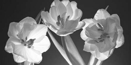 Tulips, black and white Poster Print by Assaf Frank - Item # VARPDXFTBR1751