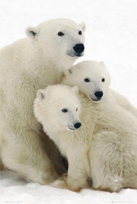 Polar Bear And Cubs Poster Poster Print - Item # VARPSP33193