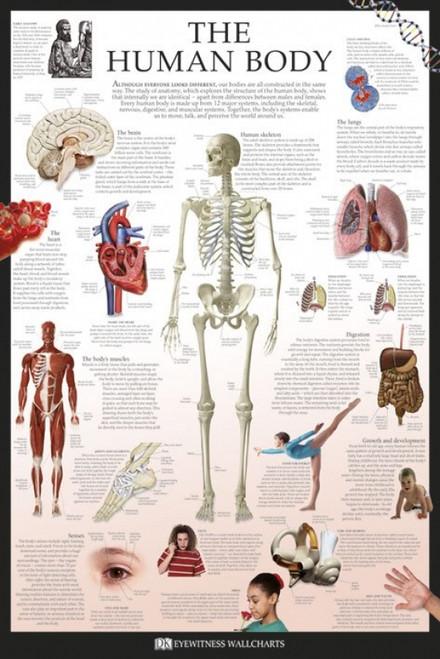 Human Body - Dorling Kindersley Eyewitness Wallcharts Poster Poster Print - Item # VARPYRPP32791