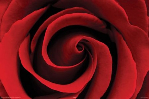 Red Rose - Rose Poster Poster Print - Item # VARNMR36010