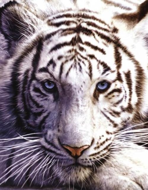 White Tiger Poster Poster Print - Item # VARPYRMPP50032