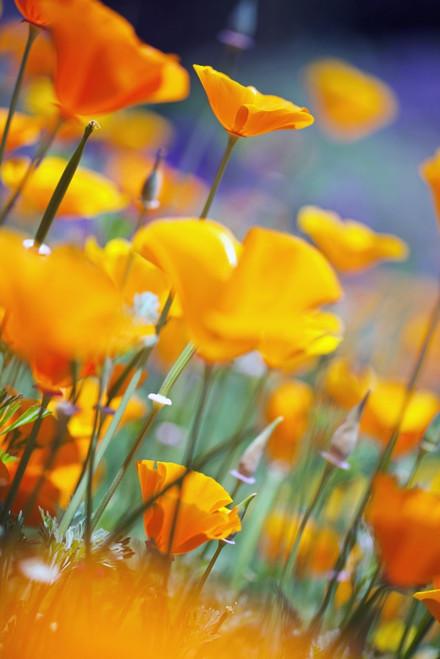 California Poppies PosterPrint - Item # VARDPI1871412