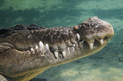 Close-Up Of Saltwater Crocodile Underwater PosterPrint - Item # VARDPI1865357