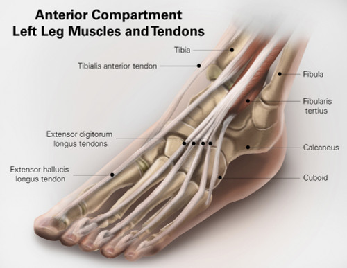 Anterior compartment anatomy of left leg muscles and tendons. Poster Print by Alan Gesek/Stocktrek Images - Item # VARPSTAGK700015H