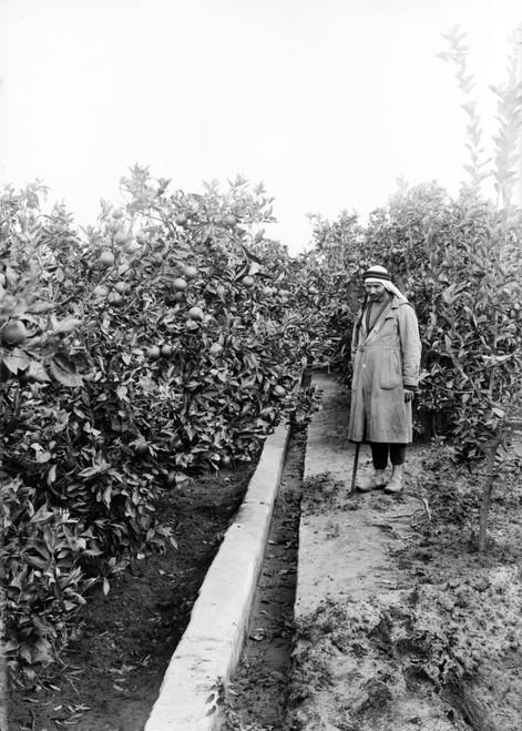 Israel: Irrigation, C1910. /Nirrigation Of Orange Gardens At Jaffa, Israel. Photograph, C1910. Poster Print by Granger Collection - Item # VARGRC0468531