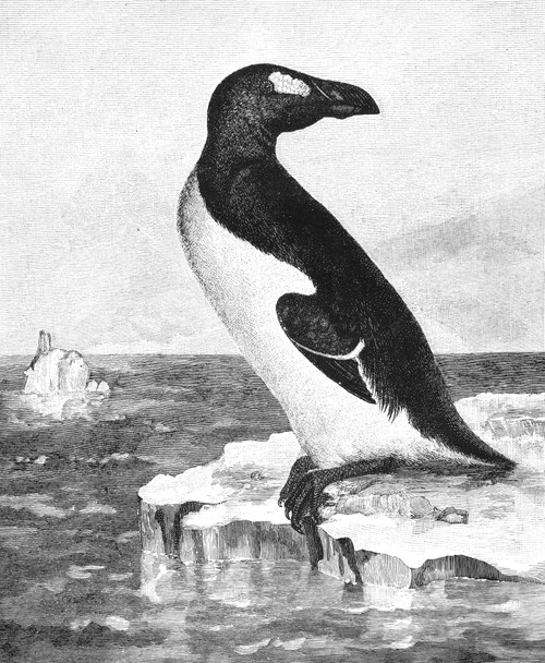 Great Auk. /Nline Engraving, 19Th Century. Poster Print by Granger Collection - Item # VARGRC0018341