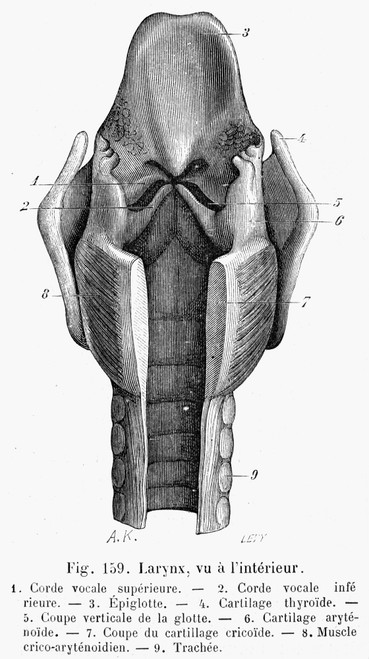 Human Larynx: Interior. /Nline Engraving, French, 19Th Century. Poster Print by Granger Collection - Item # VARGRC0076981
