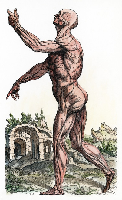 """Vesalius: Muscles 02, 1543. /Nsecond Plate Of The Muscles. Woodcut From The Second Book Of Andreas Vesalius' """"De Humani Corporis Fabrica,"""" Published In 1543 At Basel. Poster Print by Granger Collection - Item # VARGRC0008069"""
