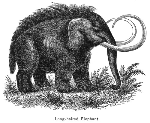 Long-Haired Elephant. /Nthe Long-Haired Elephant. Wood Engraving, Late 19Th Century. Poster Print by Granger Collection - Item # VARGRC0006512