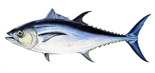 Tuna. /Na Female Bluefin Tuna (Thunnus Thynnus). Poster Print by Granger Collection - Item # VARGRC0039344