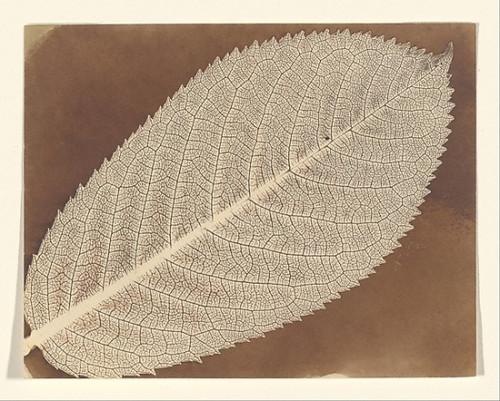 "[Leaf] Poster Print by William Henry Fox Talbot (British  Dorset 1800  ""1877 Lacock) (18 x 24) - Item # MET286724"