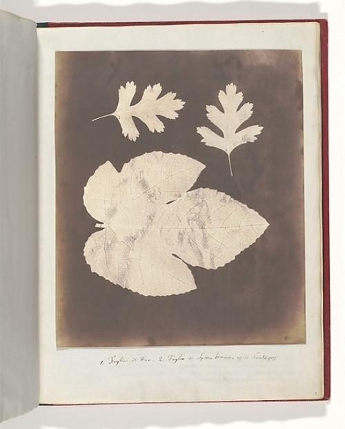 """1. Foglia di Fico. 2. Foglia di Spino bianco  ossia Crataegus Poster Print by William Henry Fox Talbot (British  Dorset 1800  """"1877 Lacock) (18 x 24) - Item # MET289199"""