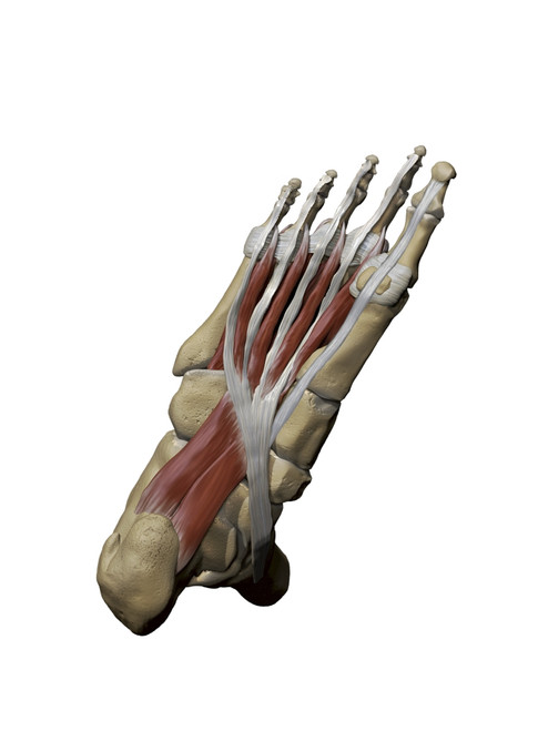 3D model of the foot depicting the plantar intermediate muscles and bone structures Poster Print by Photon Illustration/Stocktrek Images - Item # VARPSTPHT700044H