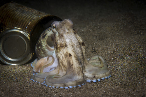 A coconut octopus posing at the open door of its can home Poster Print by Brook Peterson/Stocktrek Images - Item # VARPSTBRP400174U