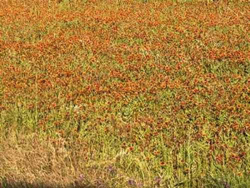A field of wildflowers near the town of Tenton in Fannin County, TX, 2014 Poster Print by Carol Highsmith - Item # VARPDX468111