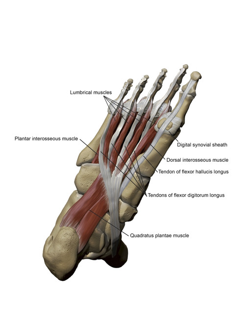 3D model of the foot depicting the plantar intermediate muscles and bone structures Poster Print by Photon Illustration/Stocktrek Images - Item # VARPSTPHT700043H