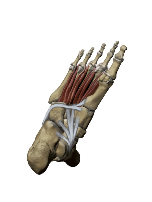 3D model of the foot depicting the plantar deep muscles and bone structures Poster Print by Photon Illustration/Stocktrek Images - Item # VARPSTPHT700042H
