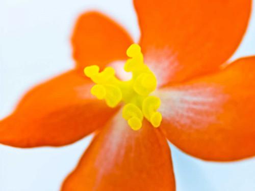 Dragon wing begonia flower close-up Poster Print by Assaf Frank - Item # VARPDXAF20080716031