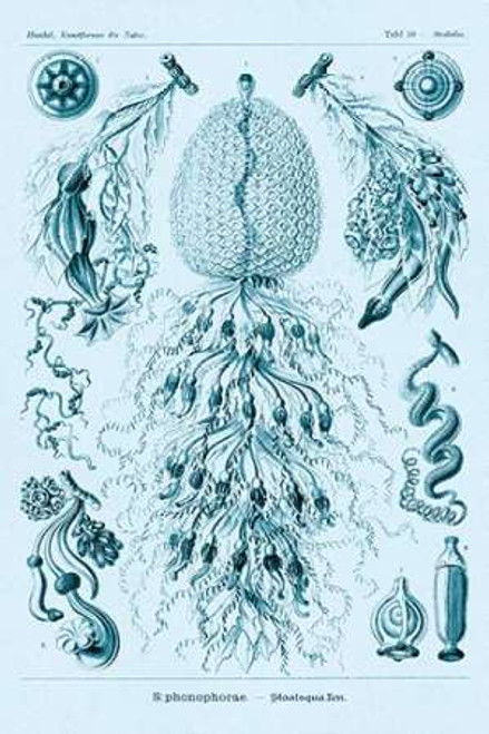 Haeckel Nature Illustrations: Siphoneae Hydrozoa - Blue-Green Tint Poster Print by Ernst Haeckel - Item # VARPDX449750
