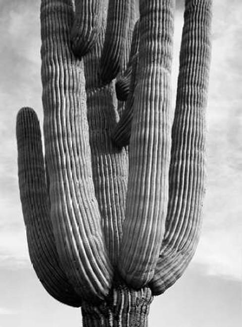 Detail of cactus Saguaros, Saguro National Monument, Arizona, ca. 1941-1942 Poster Print by Ansel Adams - Item # VARPDX460965