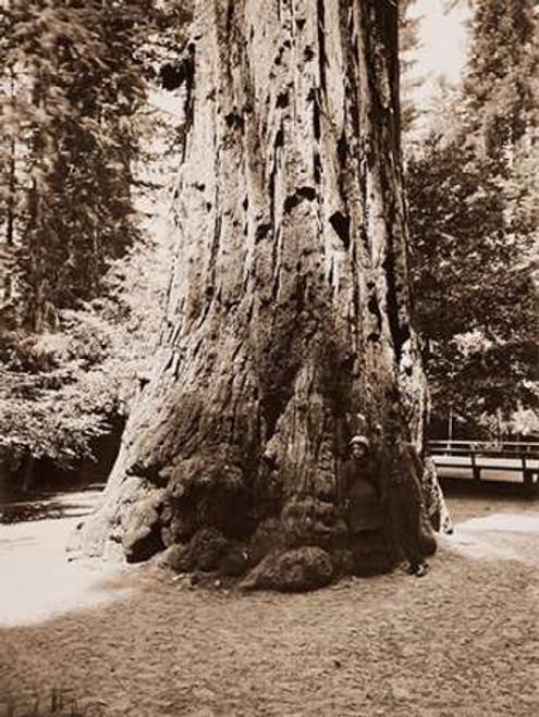 Big Tree Felton, Santa Cruz, California, 1880s Poster Print by Carleton Watkins - Item # VARPDX455401