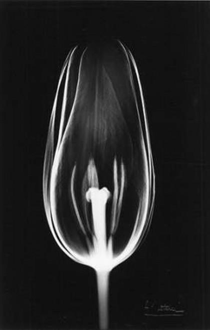 Tulip Close Up on Black Poster Print by Albert Koetsier - Item # VARPDXAKRC072