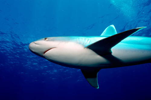 Silvertip shark, Tuamotus, Pacific Ocean Poster Print by VWPics/Stocktrek Images - Item # VARPSTVWP400541U