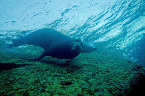 A sea lion in Cabo Pulmo, Mexico Poster Print by Brent Barnes/Stocktrek Images - Item # VARPSTBBA400157U