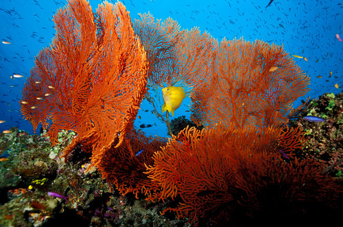 Golden damselfish in a tropical coral reef, Fiji, Pacific Ocean Poster Print by VWPics/Stocktrek Images - Item # VARPSTVWP400402U