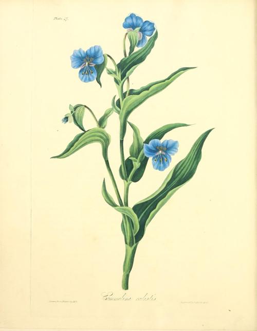 Floral Illustrations of the Seasons 1831 Commelina Coelestis Poster Print by  Margaret Roscoe - Item # VARPPHPDA66785