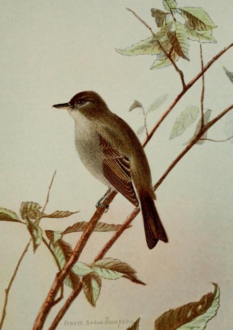 Bird Life 1901 Wood Pewee Poster Print by  Ernest T. Seton - Item # VARPPHPDA64535
