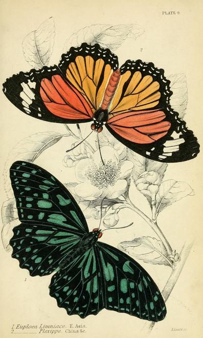 Foreign Butterflies 1858 Euploea Poster Print by Unknown - Item # VARPPHPDA67290