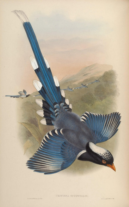Birds of Asia 1850 Nepalese Blue Pie Poster Print by  John Gould - Item # VARPPHPDP88304