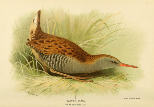 Birds of the British Islands 1885 Rail  Water Poster Print by  Archibald Thorburn - Item # VARPPHPDA69571