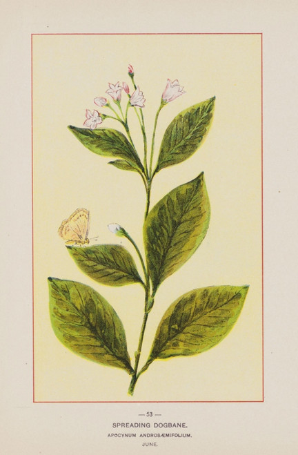 Wild Flowers of America 1894 Spreading Dogbane Poster Print by Unknown - Item # VARPPHPDA63383