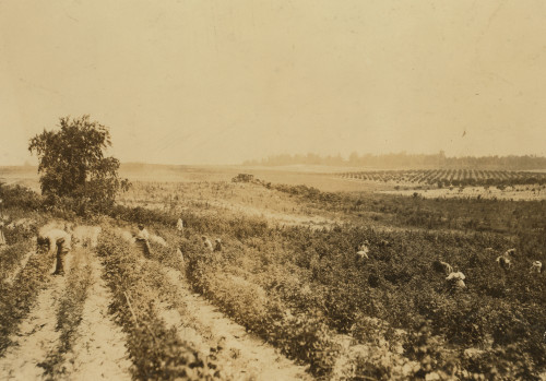 A strawberry field on Rock Creek, near Baltimore. Whites and negroes, old and young, work here from 4:30 A.M. until sunset some days. A long hot day. Location: Baltimore, Maryland. Poster Print - Item # VARBLL0587632941