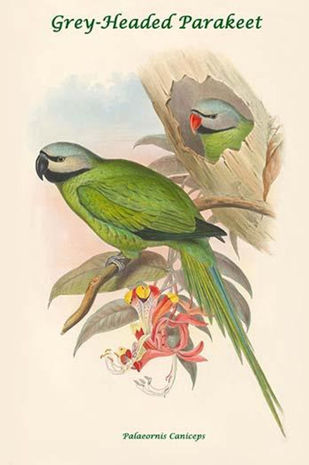 Grey Headed Parakeet Poster Print By John Gould Item Varpdx277765 Posterazzi