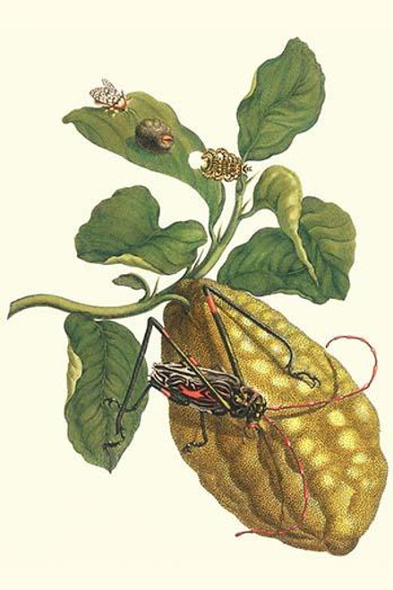 Citrus medica, Phobetron hipparchia, Acrocinus longimanus Poster Print by Maria Sibylla  Merian - Item # VARBLL0587287454