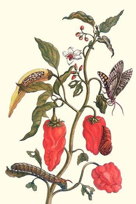 Capsicuum annuum, Manduca sexta & Manduca quinquemaculata Poster Print by Maria Sibylla  Merian - Item # VARBLL0587287721