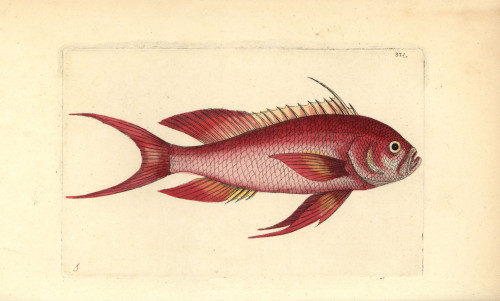 Swallowtail Seaperch  Anthias Anthias Poster Print By ® Florilegius / Mary Evans - Item # VARMEL10940496