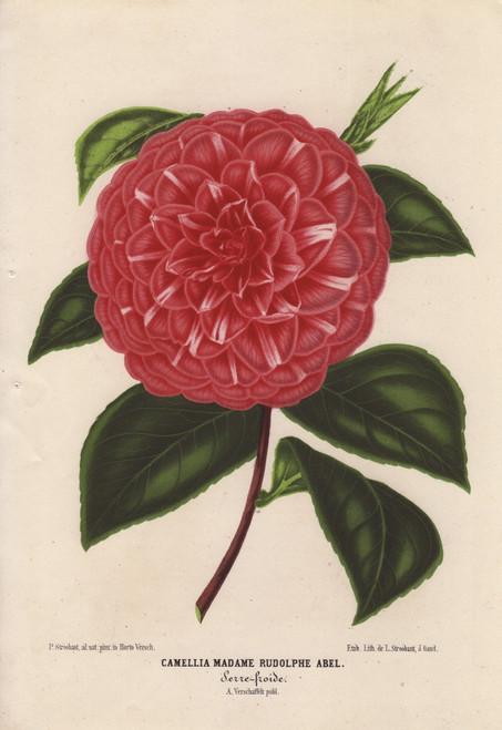 Scarlet Camellia  Madame Rudolphe Abel  Thea Japonica Poster Print By ® Florilegius / Mary Evans - Item # VARMEL10938674