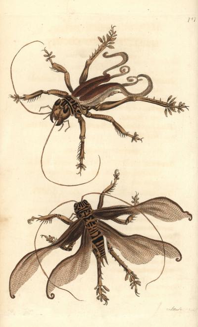 Schizodactylus Monstrosus Cricket Poster Print By ® Florilegius / Mary Evans - Item # VARMEL10940771