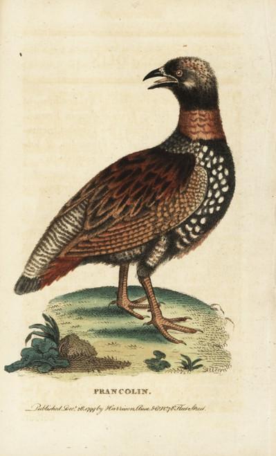 Black Francolin  Francolinus Francolinus Poster Print By ® Florilegius / Mary Evans - Item # VARMEL10937793