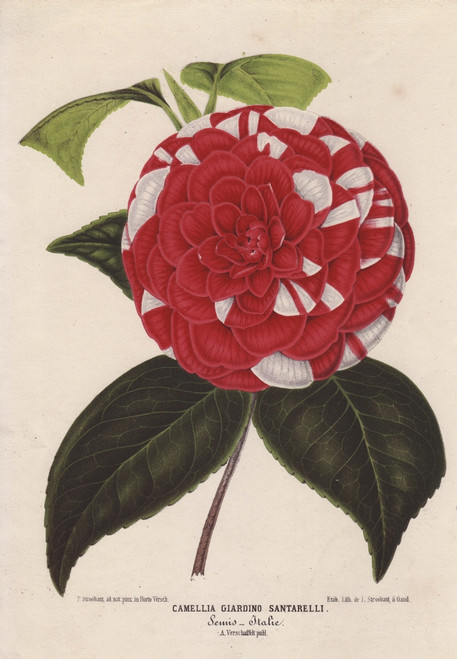Crimson And White Camellia  Giardino Santarellià Poster Print By ® Florilegius / Mary Evans - Item # VARMEL10938677