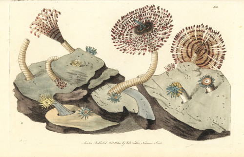 Magnificent Feather Duster Worm  Sabellastarte Magnifica Poster Print By ® Florilegius / Mary Evans - Item # VARMEL10940666